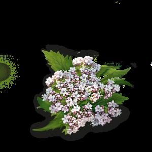 radice di valeriana
